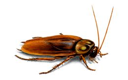 Cómo Eliminar Cucarachas